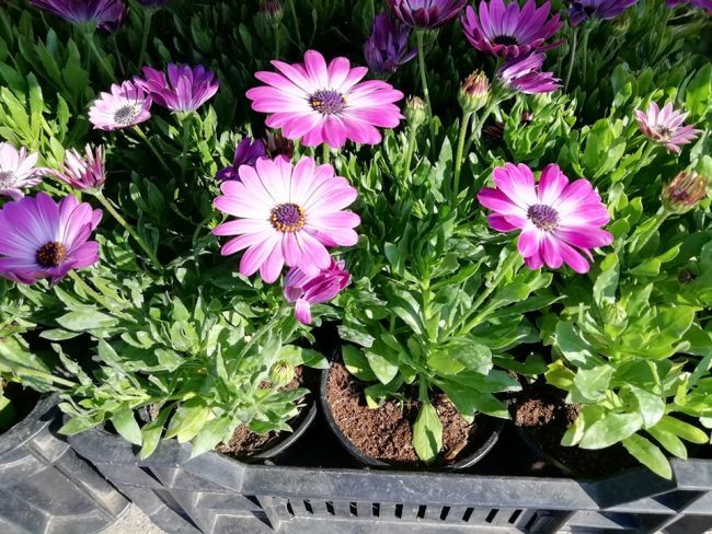 Kedvezményes árú növények a kerületi nyugdíjasoknak!